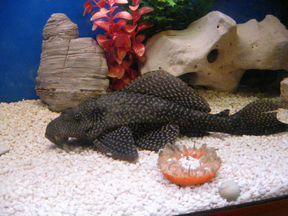 рыбки аквариумные прилипалы фото