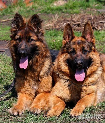 Ищем девочку немецкую овчарку - собаки и щенки немецкая овчарка в липецке