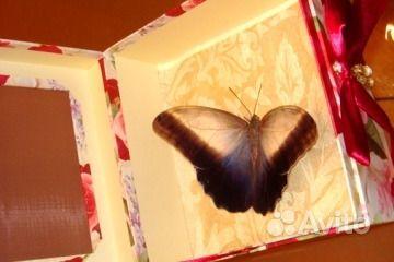 Живые Тропические бабочки Сова Андромеда - фотография № 4