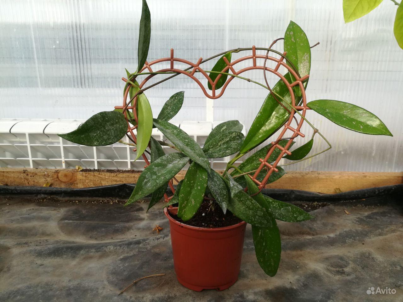 Хойя - взрослое растение купить на Зозу.ру - фотография № 2