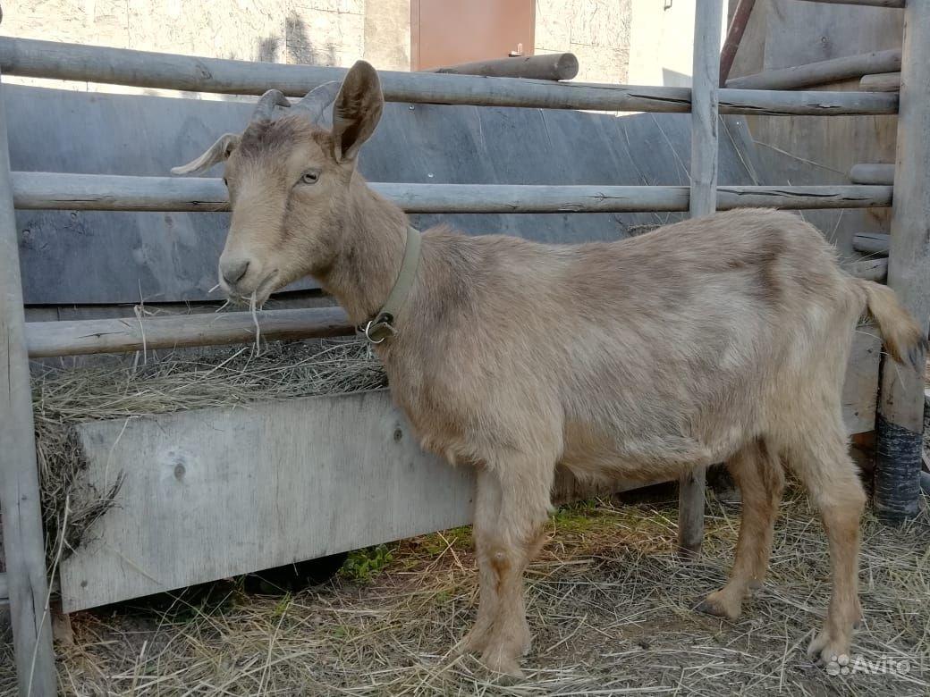 Козы и козел