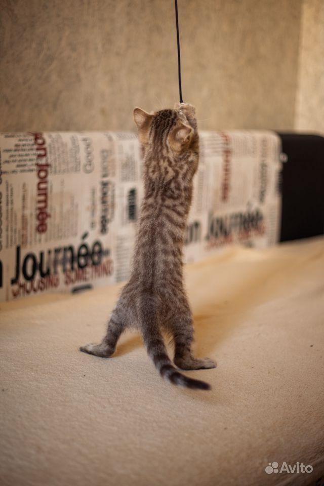 Котята шотландские в Щербинке - фотография № 7