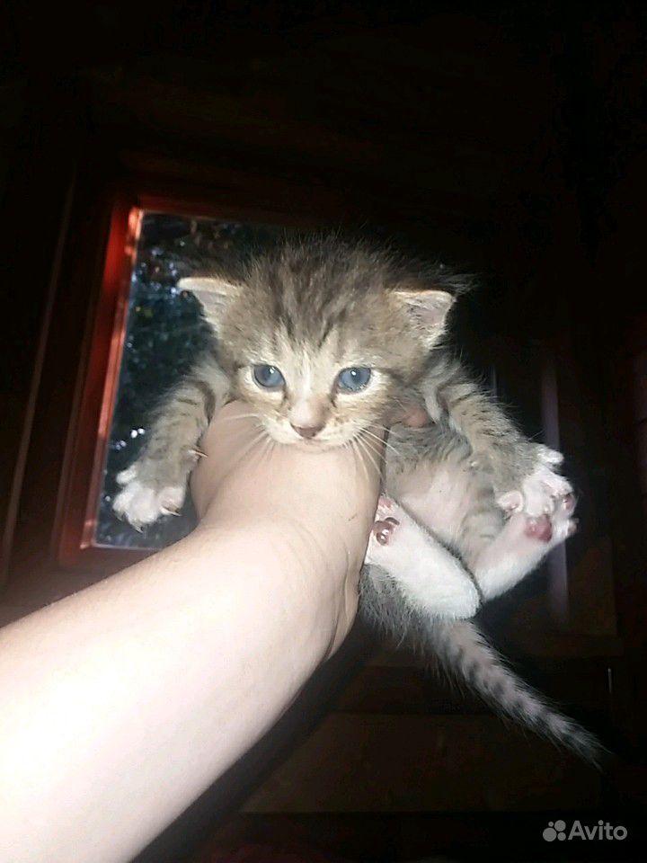 Котята, породистые, крысоловы в Зеленограде - фотография № 2
