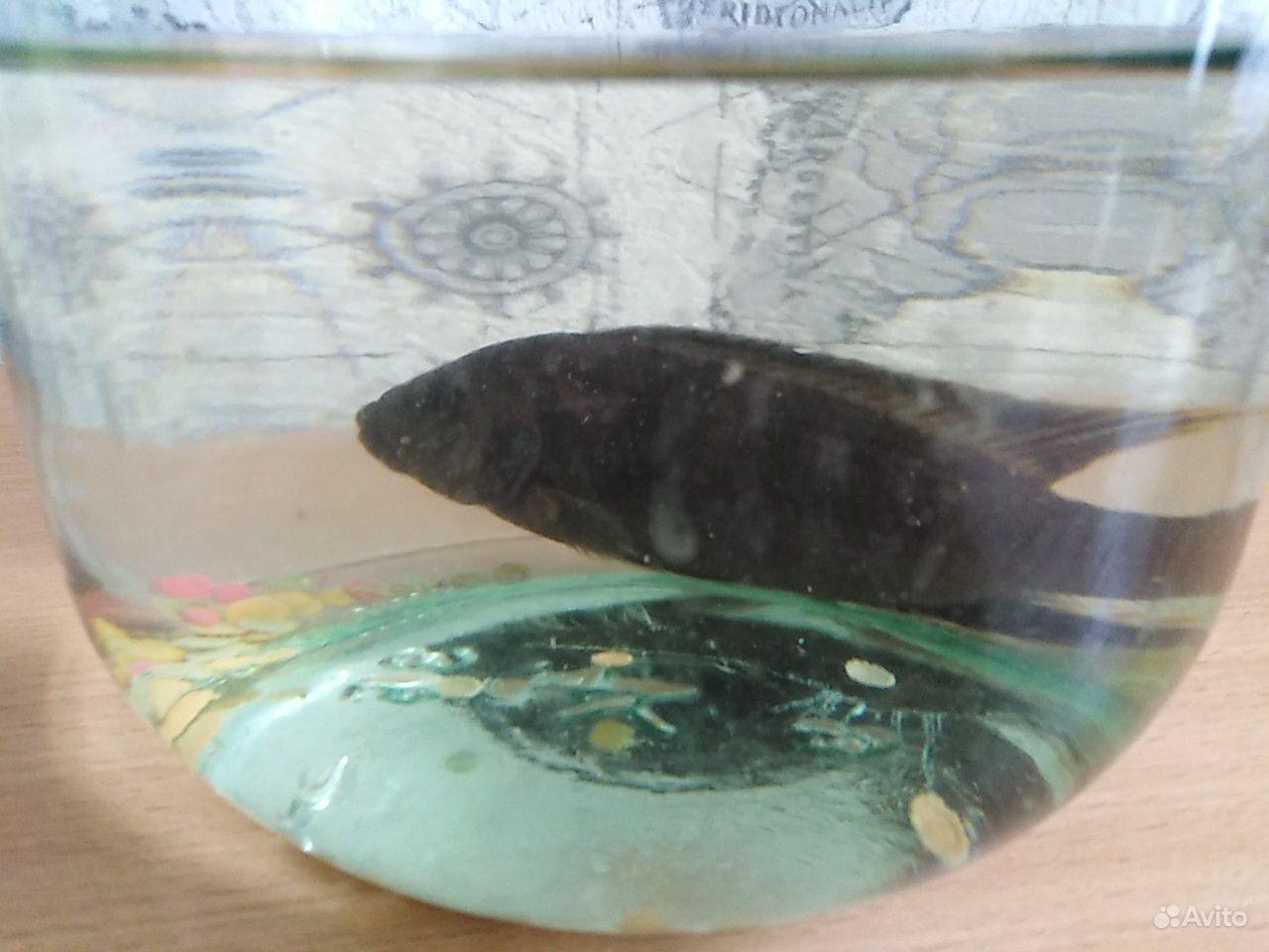 Рыбка цыхлида