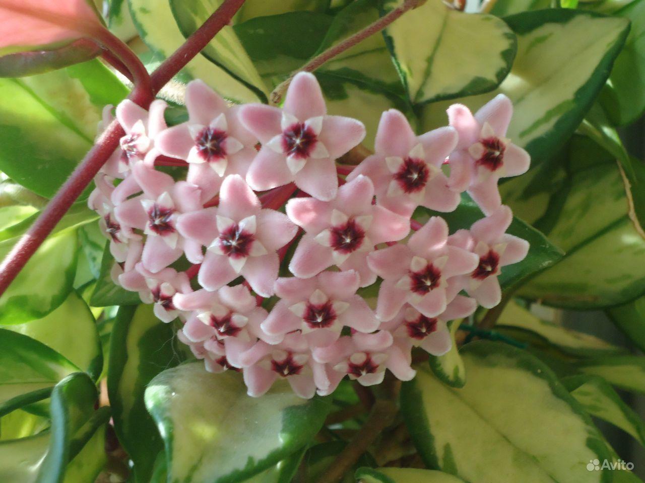 Хойя (цветущая) купить на Зозу.ру - фотография № 9