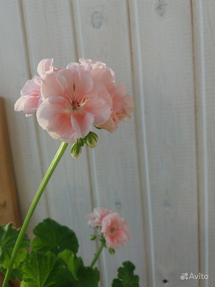 Герань розовая купить на Зозу.ру - фотография № 5