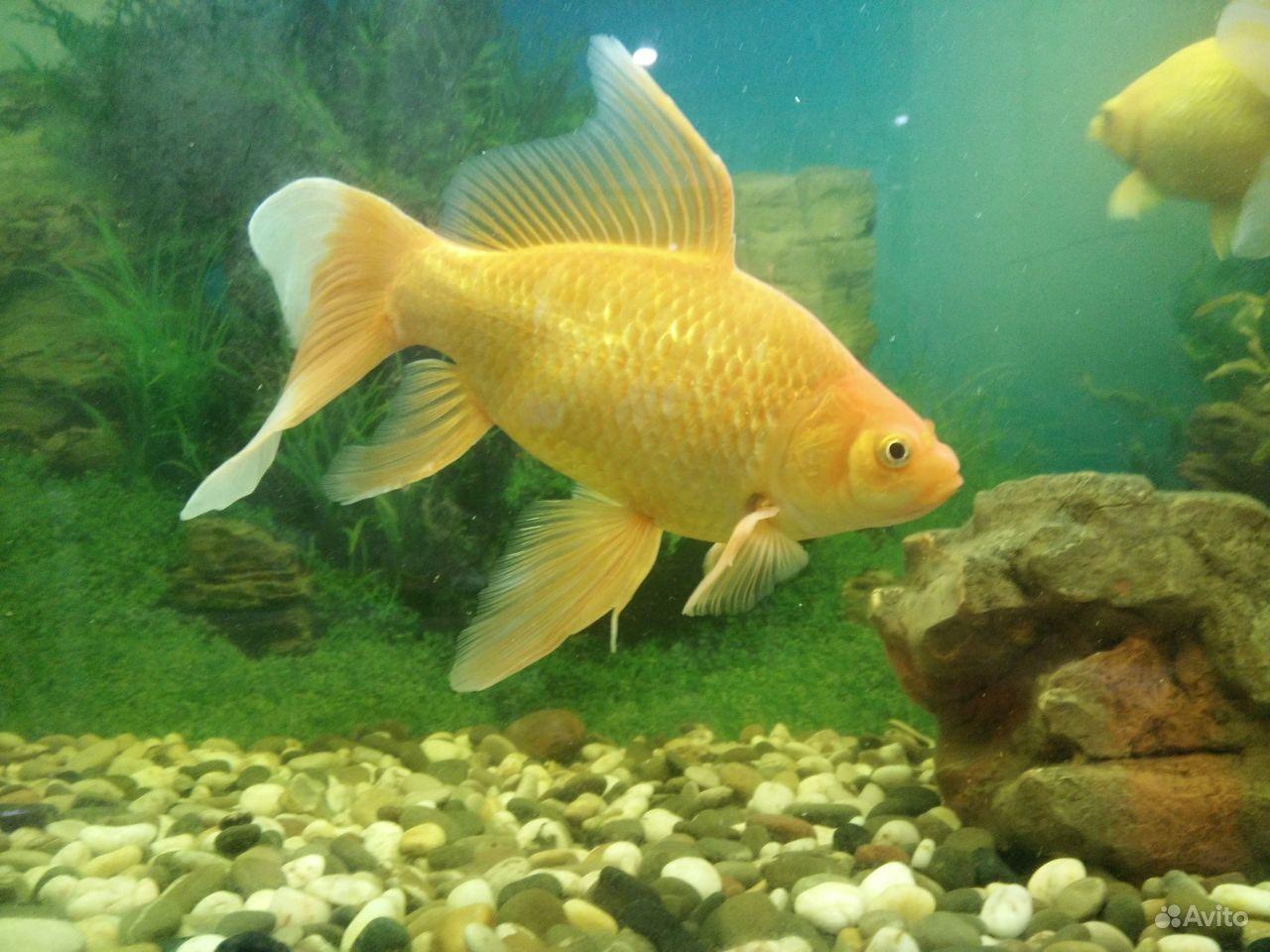 Коллекционные золотые рыбки купить на Зозу.ру - фотография № 1