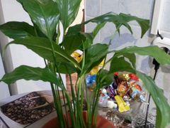 Растения спатифилум