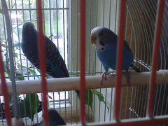 Волнистые попугаи-голубые с клеткой