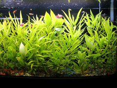 Акваримные растения