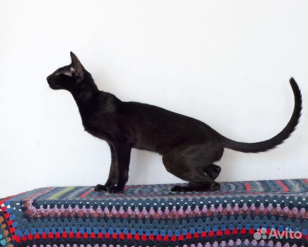 Ориентальная кошка купить в москве