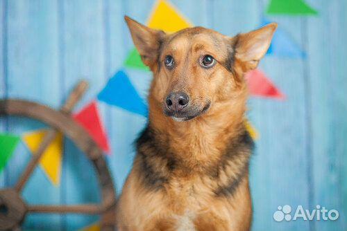 Овчаристый пёс Берти в добрые руки/ в дар купить на Зозу.ру - фотография № 2