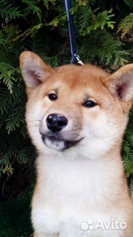 Сиба ину - лучшие щеночки купить на Зозу.ру - фотография № 1