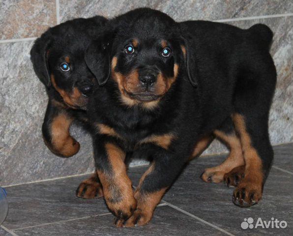 Ротвейлер щенки 14.10.19 3 девочки, 4 мальчика купить на Зозу.ру - фотография № 1