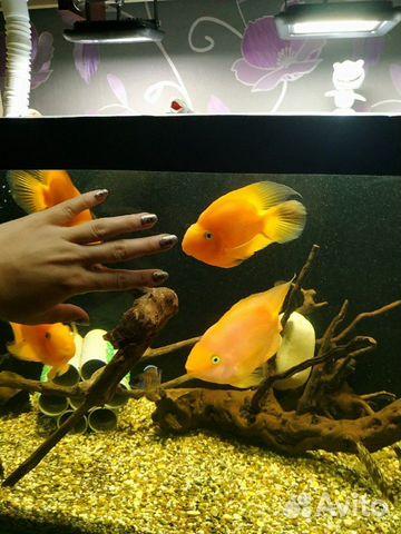 Рыба красный попугай  89967393528 купить 1