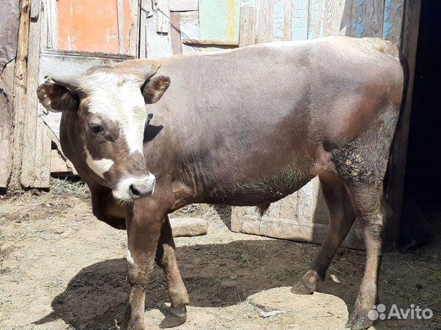 Bull  köp 4