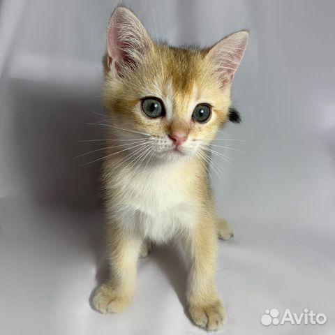 Кошка  89064224049 купить 6