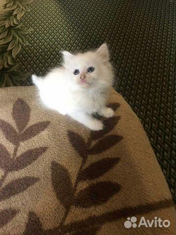 Белый кот  89209285077 купить 2