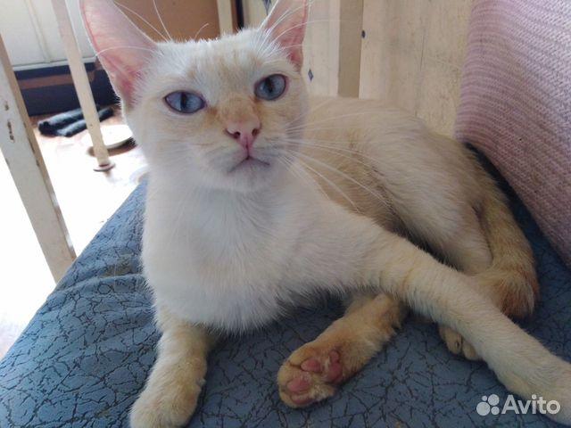 Сиамская кошка окрас ред-пойнт в добрые руки  89623042671 купить 1