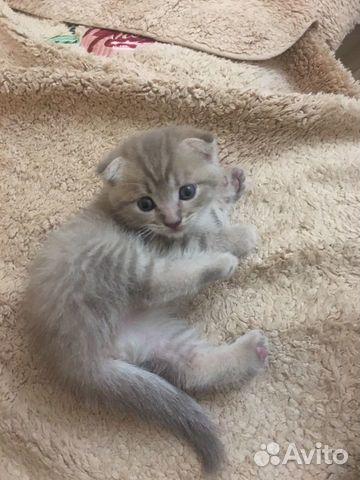 Шотландский котенок  89898842157 купить 2