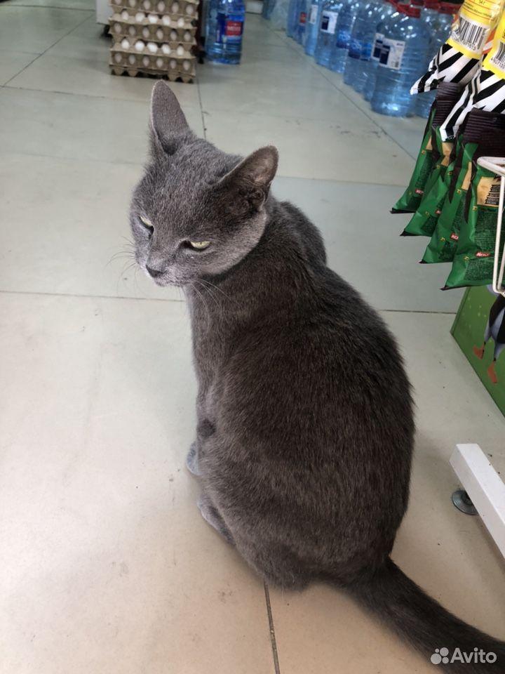 Дымчатый кошка