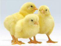 Цыпленок Бройлера Росс-308, Кобб-500