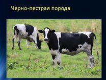 Бычки на откорм и племенной скот
