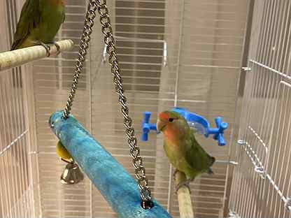 Попугай неразлучники пара клетка в подарок