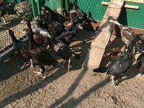 Цыплята Шамо
