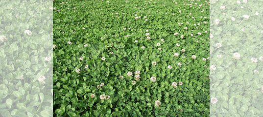 газонный клевер семена купить