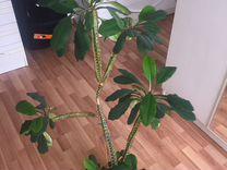 Спатифиллум, молочай — Растения в Екатеринбурге
