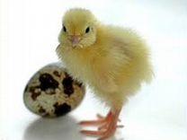 Инкубационное яйцо перепелят Техасской породы