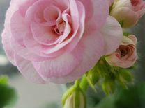 Сортовая пеларгония юг Принцесса Грейс