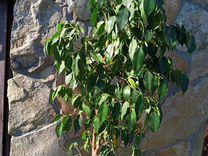 Фикус Бенджамина — Растения в Саратове