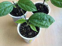 Клеродендрум Томсон — Растения в Рязани