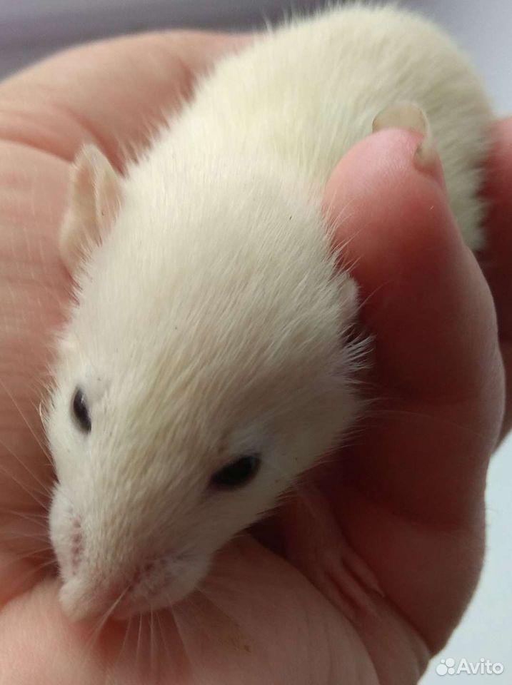 Крысята домашние на подарки  89997925271 купить 5